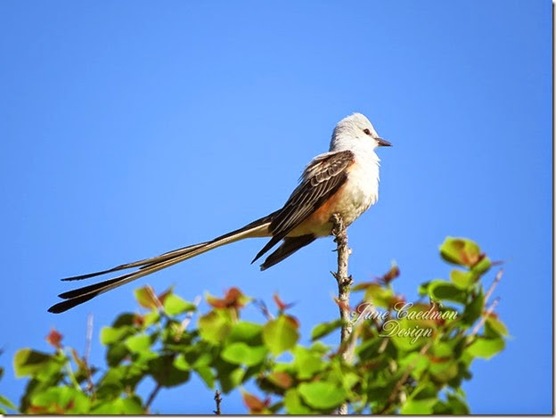 ScissorTailFlycatcher2