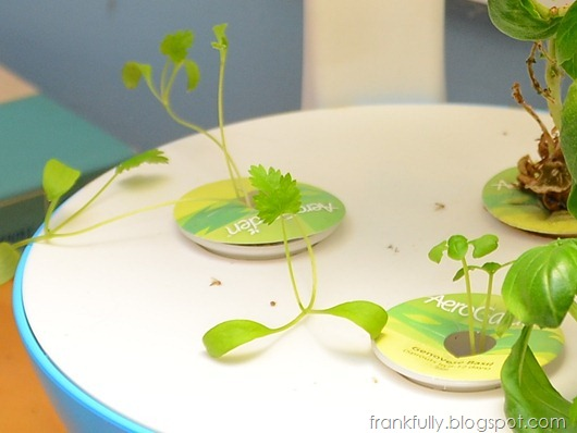 cilantro and basil sprouts in Aerogarden