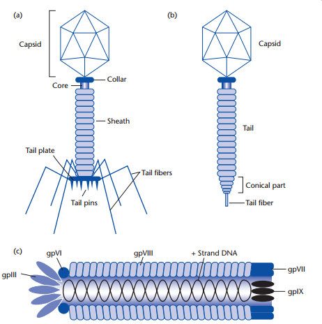 Bacteriophages structures of (a) T4, (b) lambda and (c) M13.