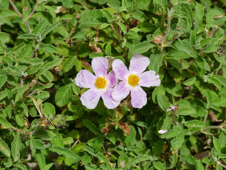 Flori Iordania