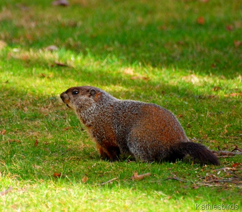 8. December groundhog-kab