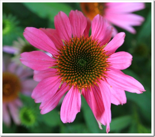 120615_Echinacea-Kims-Knee-High_05