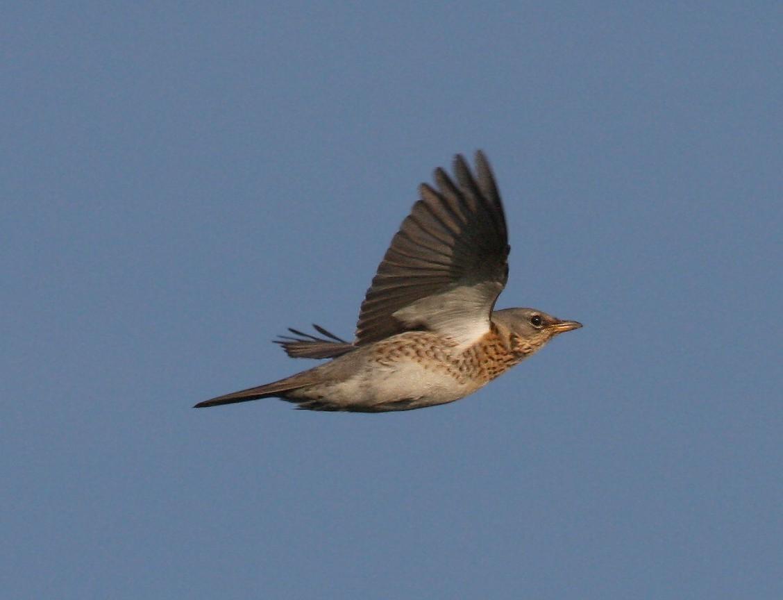 Nightingale Flying