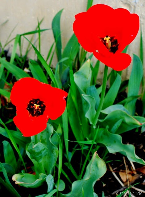17. tulips in yard-kab