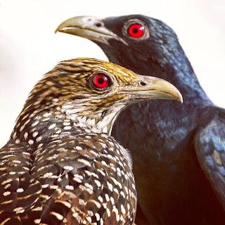 burung tuwu jantan dan betina