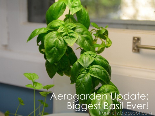 Biggest basil ever!
