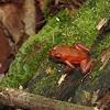 Red Dart frog
