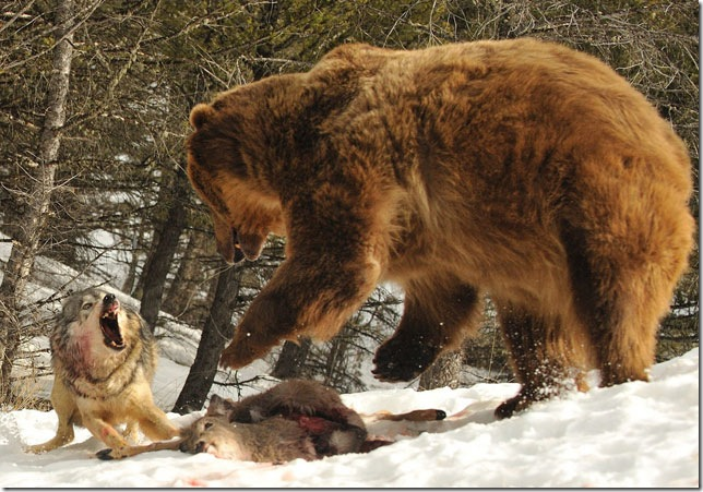 wolf-fights-bear
