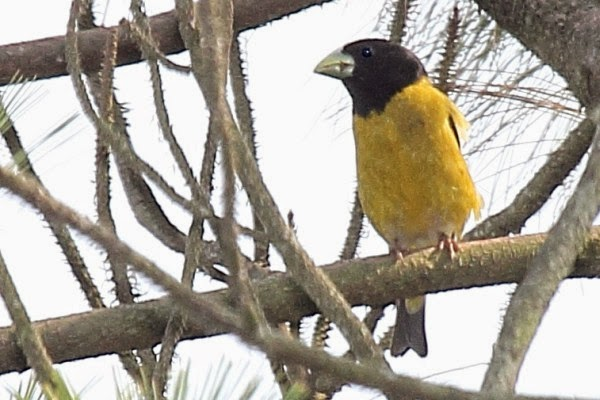 hooded grosbeak