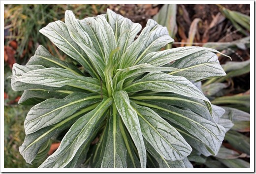 121220_first_frost_Echium-Mr-Happy_04