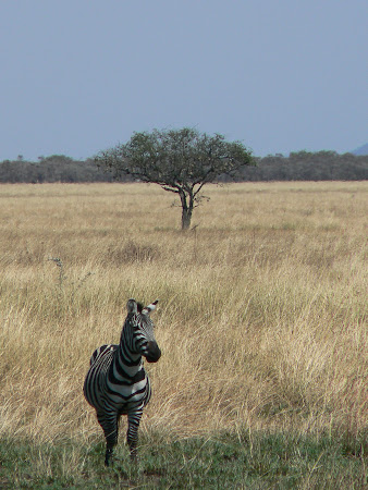 Safari Tanzania: zebra in Serengeti