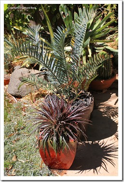 130915_Dyckia-Burgundy-Ice_22