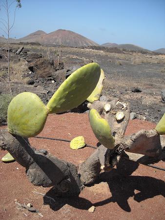 Lanzarote, insula cactuşilor