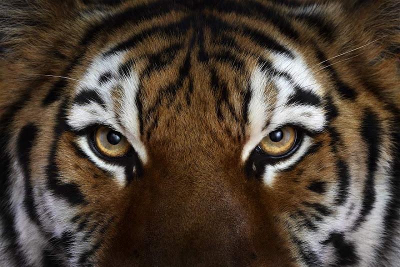animal-photography-affinity-Brad-Wilson-tiger-3.jpeg
