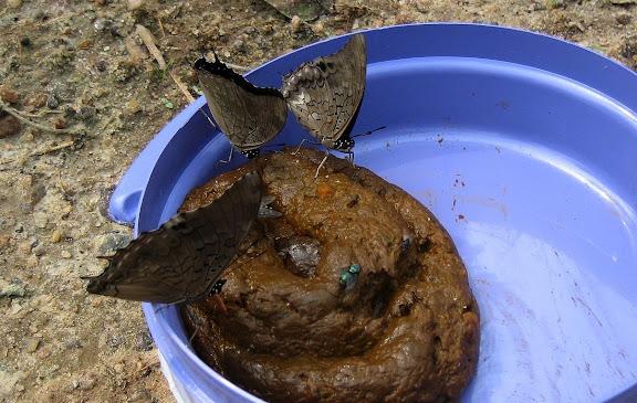 Charaxes etheocles etheocles CRAMER, 1777 (?). Bobiri Forest (Ghana), 22 janvier 2006. Photo : Henrik Bloch