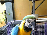 Jual Macaw Blue and Gold