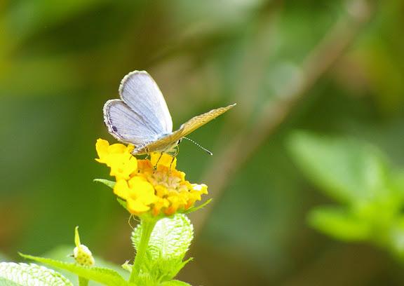 Catochrysops strabo FABRICIUS, 1793, mâle (?). Sepilok, 10 août 2011. Photo : J.-M. Gayman