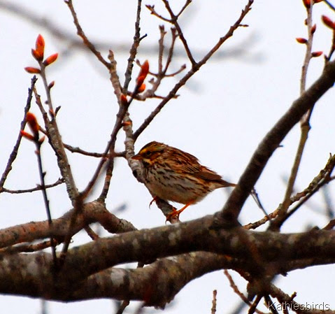 22. savannah sparrow-kab