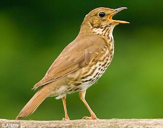 download suara burung song thrush