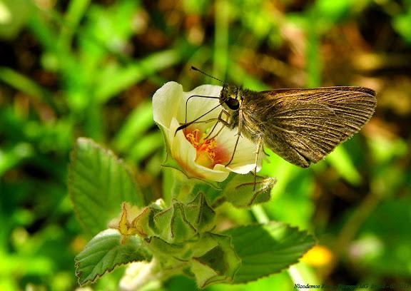 Probablement Hesperiinae : Eutocus facilis (PLÖTZ, 1884). Pitangui (MG, Brésil), 7 février 2013. Photo : Nicodemos Rosa