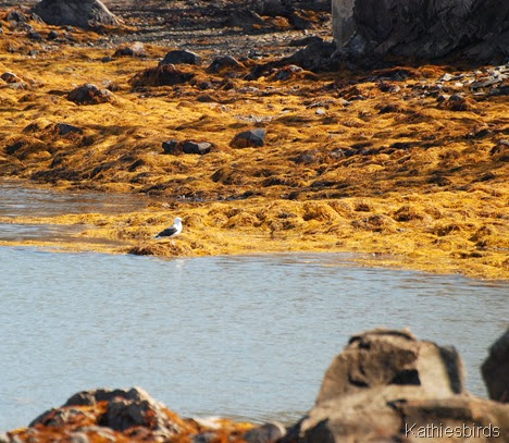 4. gull on rocks-kab