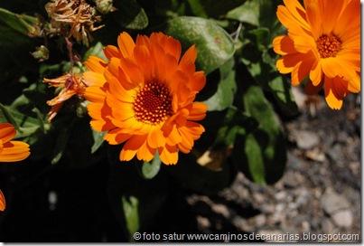 0617 Tamadaba-Berrazales (Caléndula))