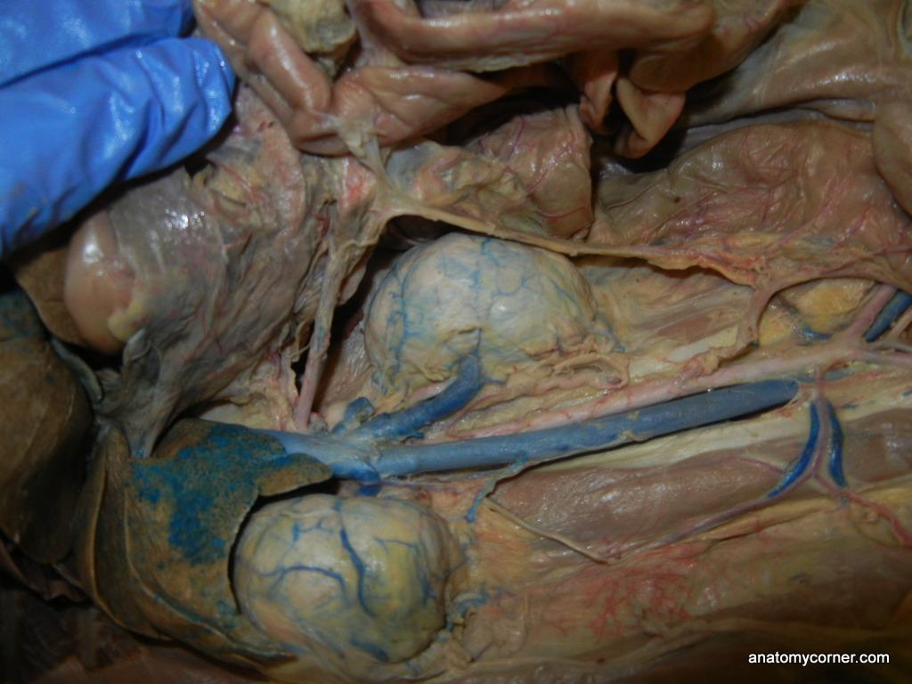 Kidneys Jpg