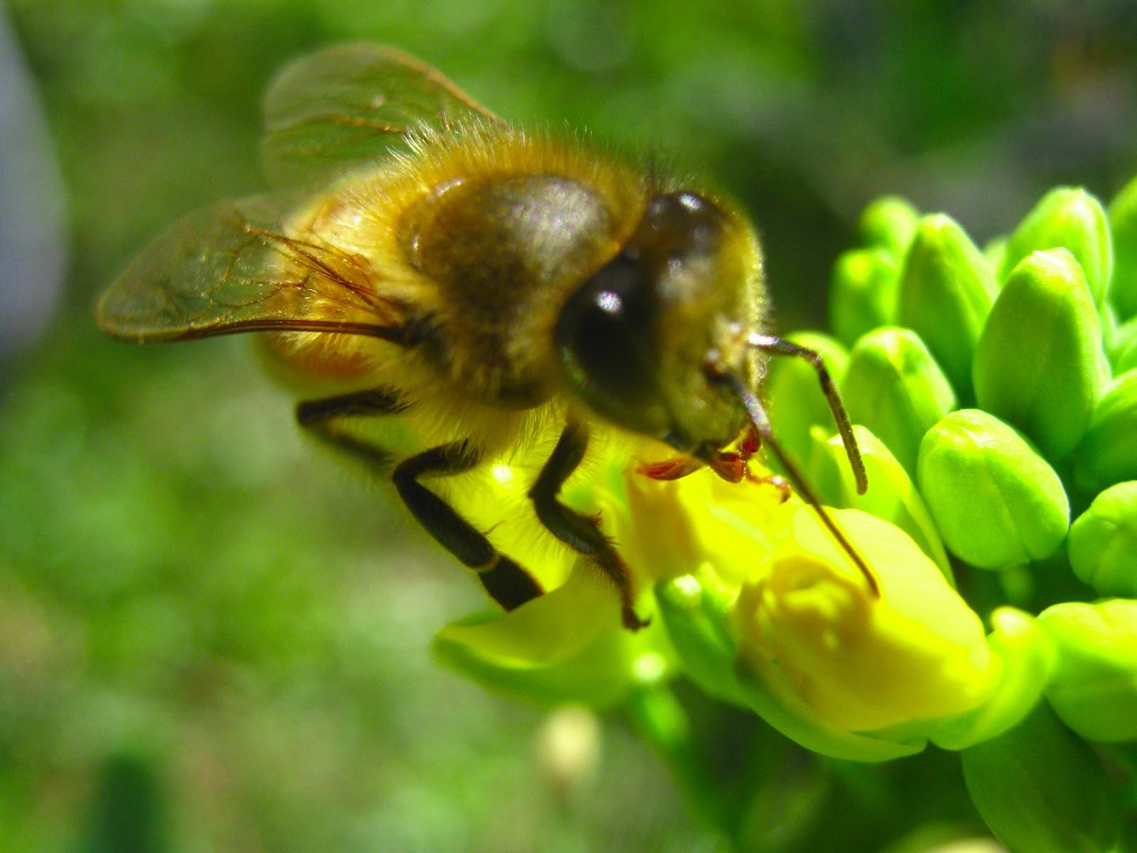Anatomy of a Honey Bee