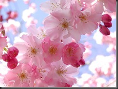 cherry-blossoms-facebook-HD