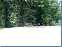 0956 Virginia - Blue Ridge Parkway North - white-tailed doe & 2 fawns