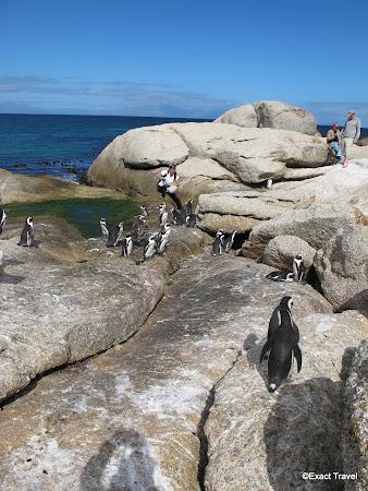 Imagini Cape Town: pinguini in Africa de Sud