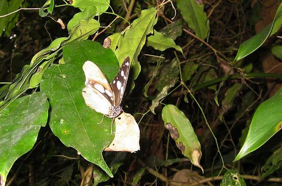 Hypolimnas anthedon DOUBLEDAY, 1845, forme dubius, mâle. Bobiri Forest (Ghana), 18 janvier 2006. Photo : Henrik Bloch