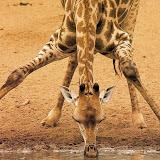 jirafa-bebiendo.jpg