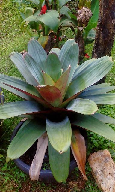 Jual tanaman bromelia giant harga murah
