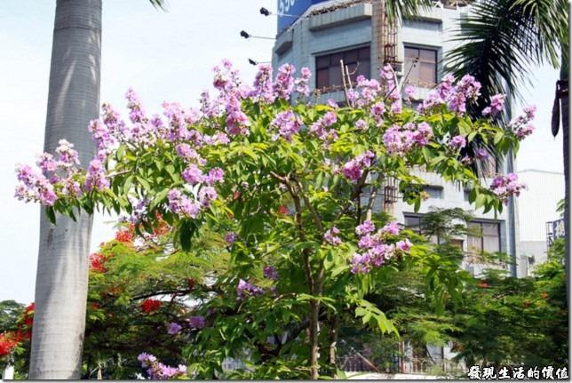 大花紫薇於台南公園