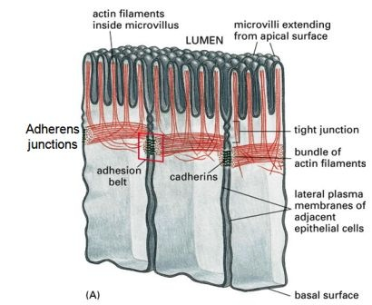 adherens junction