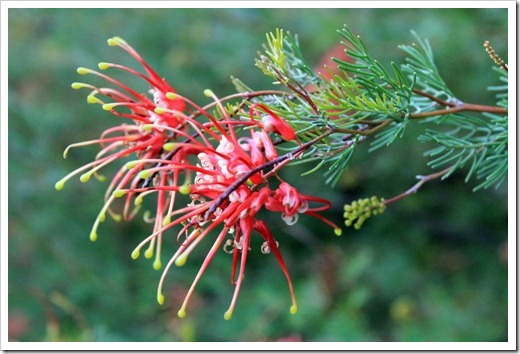 130119_UCDA_AustralianCollection_Grevillea-thelemanniana_06