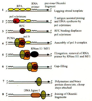 DNA replication in Mammalian cells