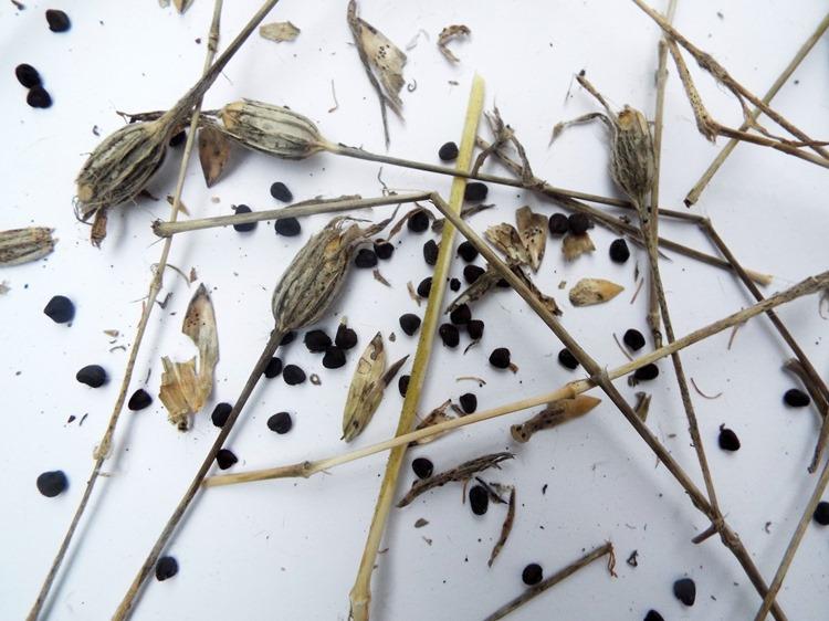 wildflower husks and seeds