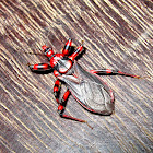 Striped Assassin Bug