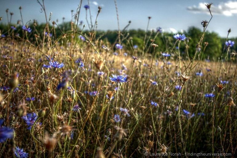 Blue flowers wheatfield