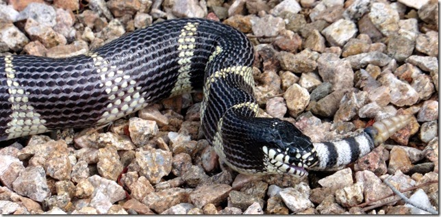 Kingsnake rattle 9-19-2014 10-47-16 AM 3901x1905