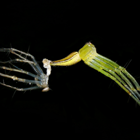 Go Out! by Ardika Septyawan - Animals Insects & Spiders ( macro, new born, wildlife, spider )