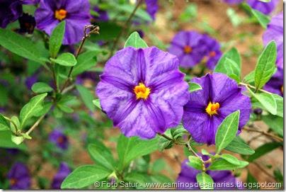 7247 Cruz Grande-La Filipina(Solanum rantonetti-Solano flor azul)