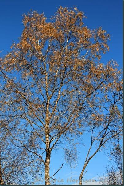 65-silver-birch