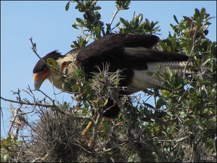 Crested Caracara in tree