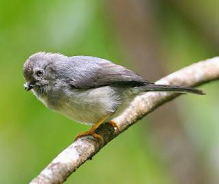 burung terkecil di pulau jawa