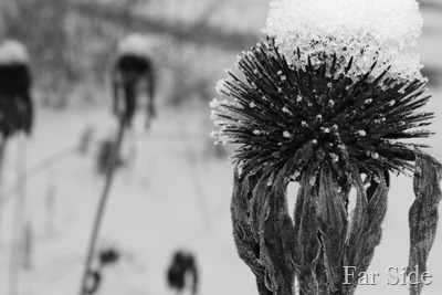 Black and White Coneflowers