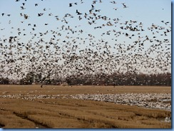 5779 Arkansas - I-40 - flock of birds (snow geese maybe)