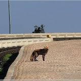 Fuchs am Bahnsteig